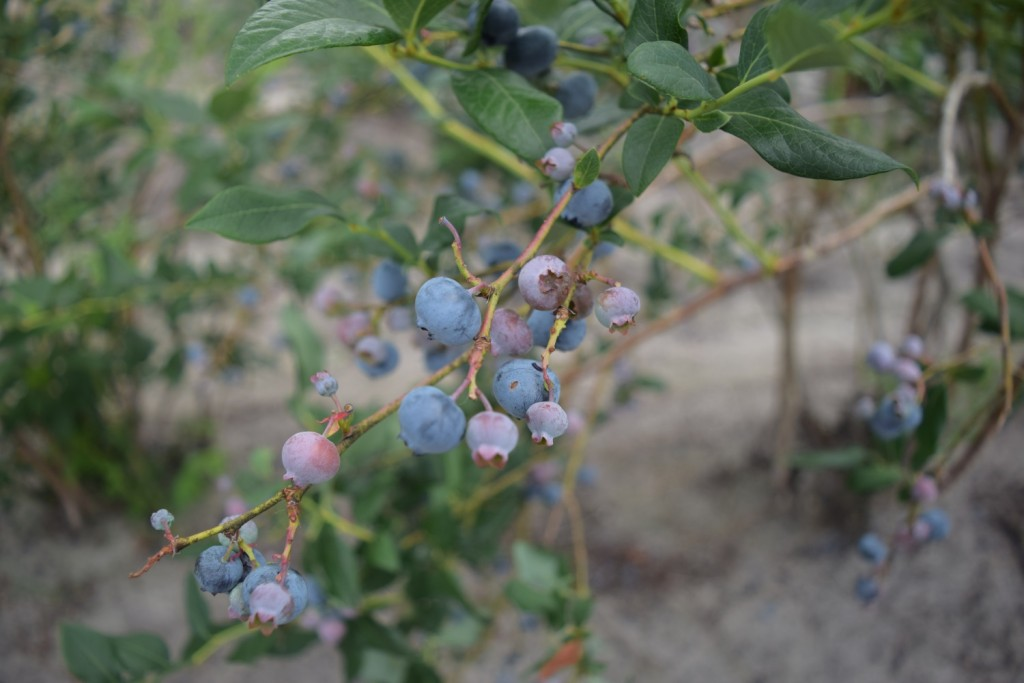 NJ's Blueberry Season